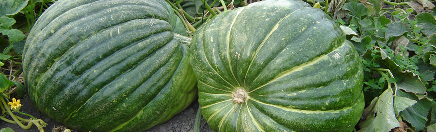 pumpkins-in-field